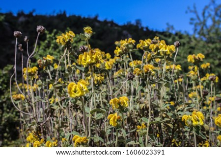 Yellow flowers of Phlomis fruticosa, Jerusalem sage, in Albania #1606023391