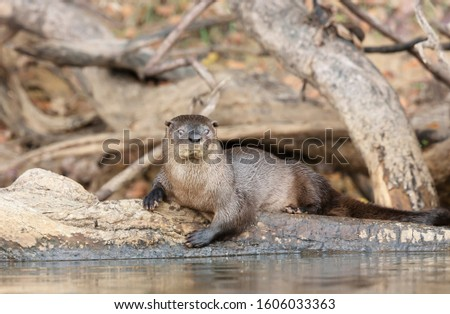 Close up of a neotropical otter lying on a falling tree on a riverbank, Pantanal, Brazil.