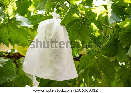 Fruit Protection Bag on Grapes, safer than netting, used to protect grapes from birds and other pests. Royalty-Free Stock Photo #1606063312