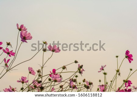 back of pink cosmos flowers on the sky background