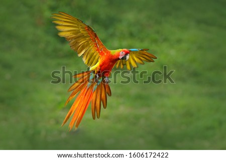 Rare form Ara macao x Ara ambigua, in tropical forest, Costa Rica. Red hybrid parrot in forest. Macaw parrot flying in dark green vegetation. Wildlife scene from tropical nature. Bird in fly, jungle. #1606172422