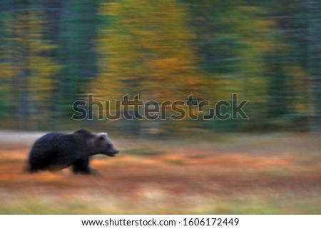 Nature art, bear blur motion activity. Brown bear walking in forest with fall colours. Animal hidden in yellow forest. Dangerous creature in nature wood, meadow habitat. Wildlife habitat from Russia. #1606172449