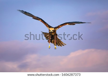 Flying bird. Bird of prey. Colorful sky background.  #1606287373