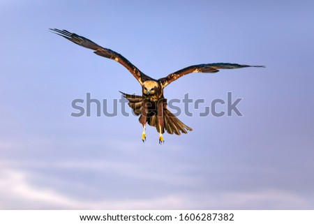 Flying bird. Bird of prey. Colorful sky background.  #1606287382