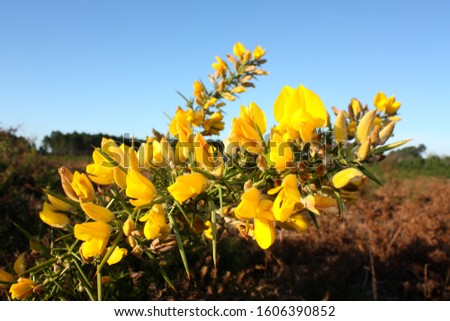 Flowering gorse as the first flowers in the new year #1606390852
