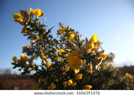 Flowering gorse as the first flowers in the new year #1606391476