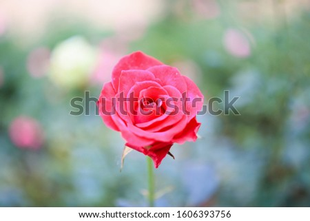 Beautiful red roses flower in the garden #1606393756