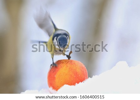 The Eurasian blue tit (Cyanistes caeruleus) is a small passerine bird in the tit family, Paridae. Blue tit sitting on the apple. Winter scene with a blue tit #1606400515