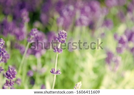 Close up bushes of beautiful lavender. Aromatic flowers concept. Provence style. Lavender tender violet flowers. Lavender field. Gardening planting plants and botany. Floral shop. Growing lavender. #1606411609