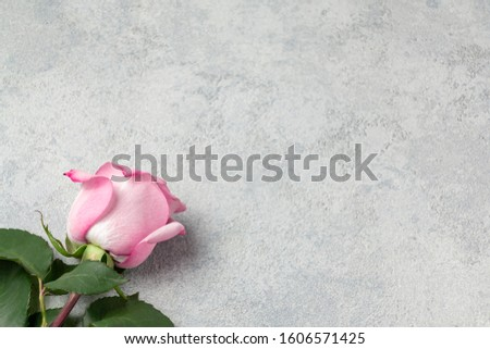 One pink rose on a concrete surface, template for design or greeting card, place for text, copy space