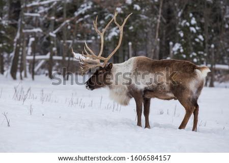 Boreal woodland caribou in winter (Rangifer tarandus caribou) #1606584157