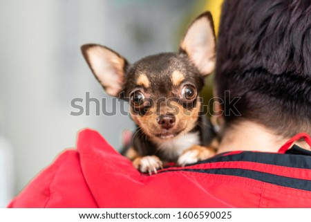 Portrait of a scared little chihuahua dog on the shoulder of a mistress in a veterinary clinic. #1606590025