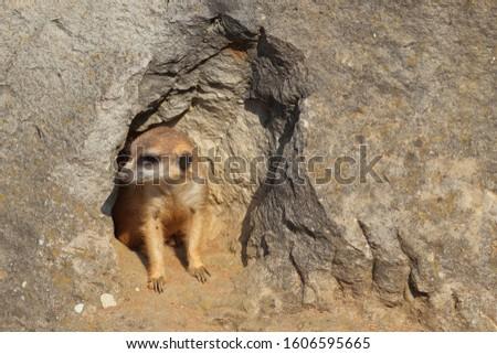 Portrait of meerkat (Suricata suricatta) looking out from cave in rock . Wildlife scene from natural habitat. Habitat Africa. #1606595665
