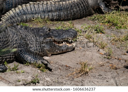 Picture of an American alligator