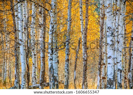 Backlit white barked quaking aspen trees in a field under autumn golden canopy of yellow leaves Royalty-Free Stock Photo #1606655347
