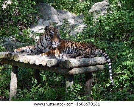 Alert Tiger Notices Something That may be a Meal #1606670161