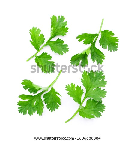 Coriander leaf isolated on white background , top view , flat lay. #1606688884