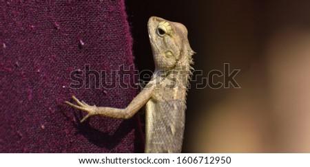 The oriental garden lizard, eastern garden lizard, bloodsucker or changeable lizard is an agamid lizard found widely distributed in indo-Malaya. #1606712950