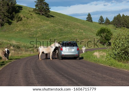A family of feral donkeys walking in and next to a roadway with tourists in vehicles stopping to take pictures in Custer State Park, South Dakota.