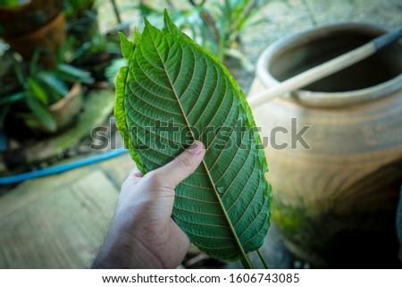 Kratom leaves Mitragyna speciosa leaf natural herbs Asian herbs, Thai herbs #1606743085