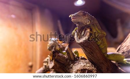 chameleon in a natural habitat zoo  #1606860997