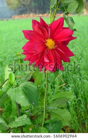 Beautiful Red Rose Hamirpur HP #1606902964