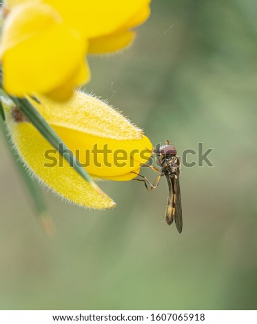 A Platycheirus sp. hoverfly resting on a Gorse flowr #1607065918