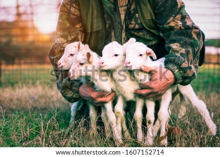 Four newborn lambs in hands of  shepherd standing outdoor on grass at sunset light - Baby animals looking around with innocent attitude - Rural concept of love and protection - Vintage filter image #1607152714