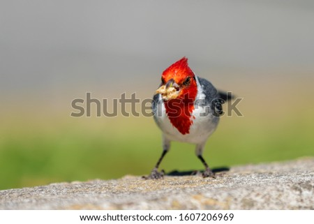 picture of a red-crested cardinal on Oahu, Hawaii