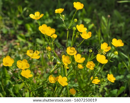 Bunch of small common or meadow Buttercup, yellow flowers, close up. Wild Ranunculus acris, is a species of flowering plant in Ranunculaceae family. Fresh tall buttercup have five overlapping petals. #1607250019