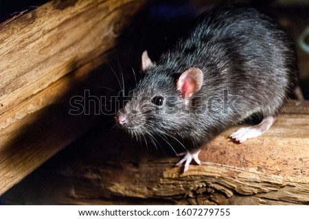 The black rat (Rattus rattus), also known as ship rat, roof rat, or house rat. #1607279755