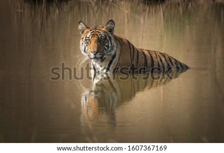 Royal Bengal Tiger (Panthera Tigris) swimming in a water body #1607367169