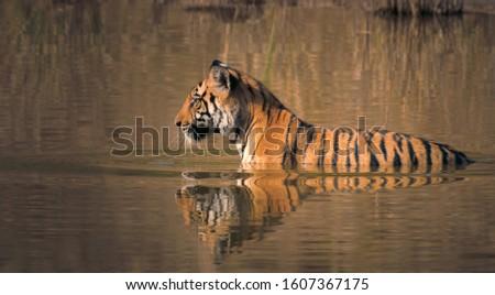 Royal Bengal Tiger (Panthera Tigris) swimming in a water body #1607367175