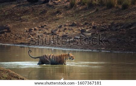 Royal Bengal Tiger (Panthera Tigris) swimming in a water body #1607367181