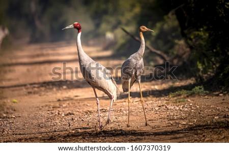 A pair of Sarus Cranes in Bharatpur #1607370319