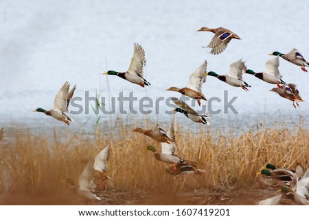 Mallard duck flying over the lake