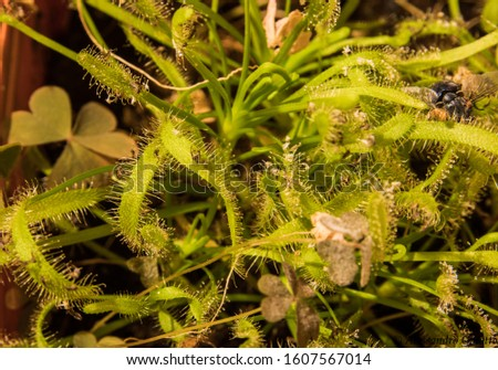 Macro of a carnivorous plant that has caught some insects with its sticky leaves #1607567014