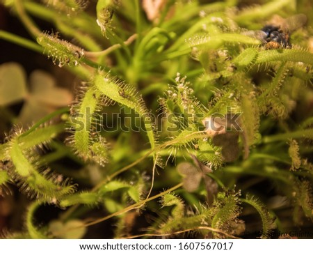 Macro of a carnivorous plant that has caught some insects with its sticky leaves #1607567017