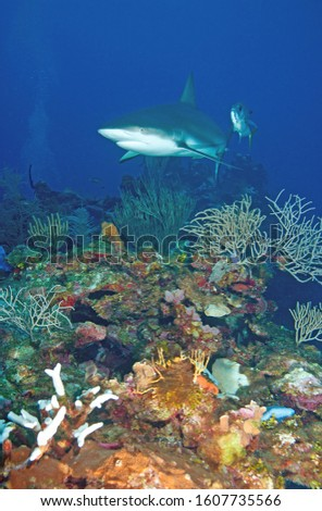 Blacktip Reef Shark escorted by a single Horse-eyed Jack roaming the shallow reefs of Belize with sponges, soft corals and fans #1607735566