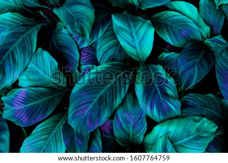 leaves of Spathiphyllum cannifolium, abstract green texture, nature background, tropical leaf #1607764759