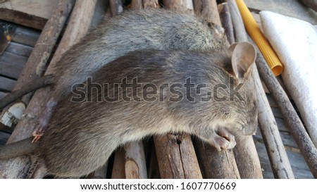 Field rats generally refer to rodent rodents that live in paddy fields or various agricultural areas, considered to be one of the important pests. #1607770669