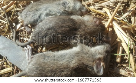 Field rats generally refer to rodent rodents that live in paddy fields or various agricultural areas, considered to be one of the important pests. #1607771563