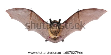 Animal little brown bat flying. Isolated on white. Royalty-Free Stock Photo #1607827966