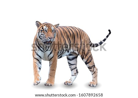 Royal tiger walking on a white background. Great tiger male in the nature habitat. Wildlife scene with danger animal. Hot summer in asia. beautiful asian tiger, Panthera tigris.