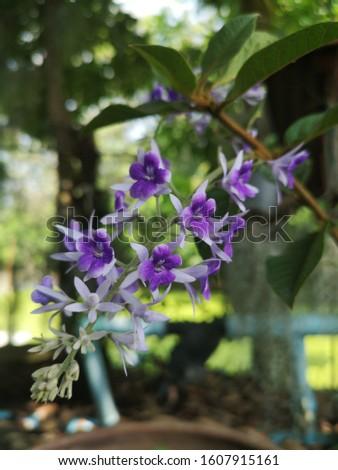 Purple Wreath flowers are beautiful. #1607915161