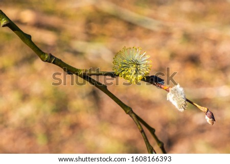 Spring with Willow buds on a branch #1608166393