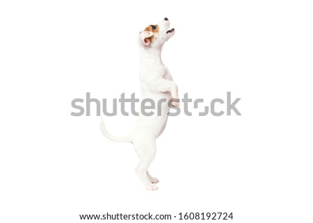 Jack Russell Terrier puppy isolated on white background #1608192724