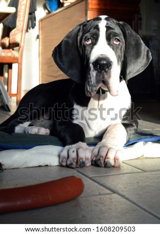 A cute puppy Great Dane breed. This is large breed dog. #1608209503