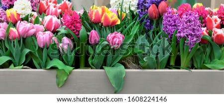 Colourful arrangement of fresh spring flowers with tulips and hyacinths  . Grey wooden board with copy space, panoramic banner.