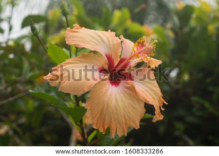 Hibiscus flower, beautiful, and with multiple health benefits, has a variety of shapes and colors, is from the same family as the cotton flower, the hibiscus flower only lives 24 hours. #1608333286